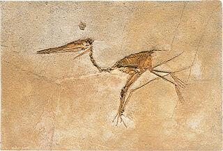 Fossiler Flugsaurier