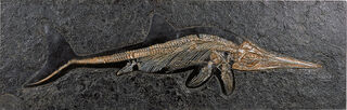 Fossiler Ichthyosaurier
